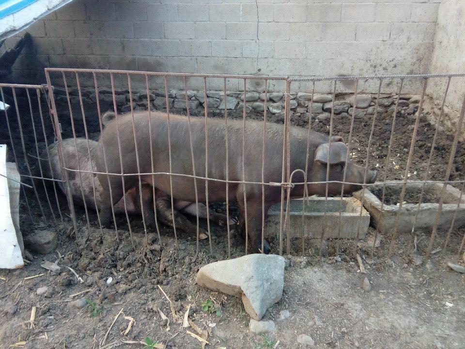 Pig Kept on a Hangzhou Farm
